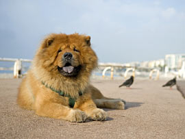 Chow Chow in Frankreich
